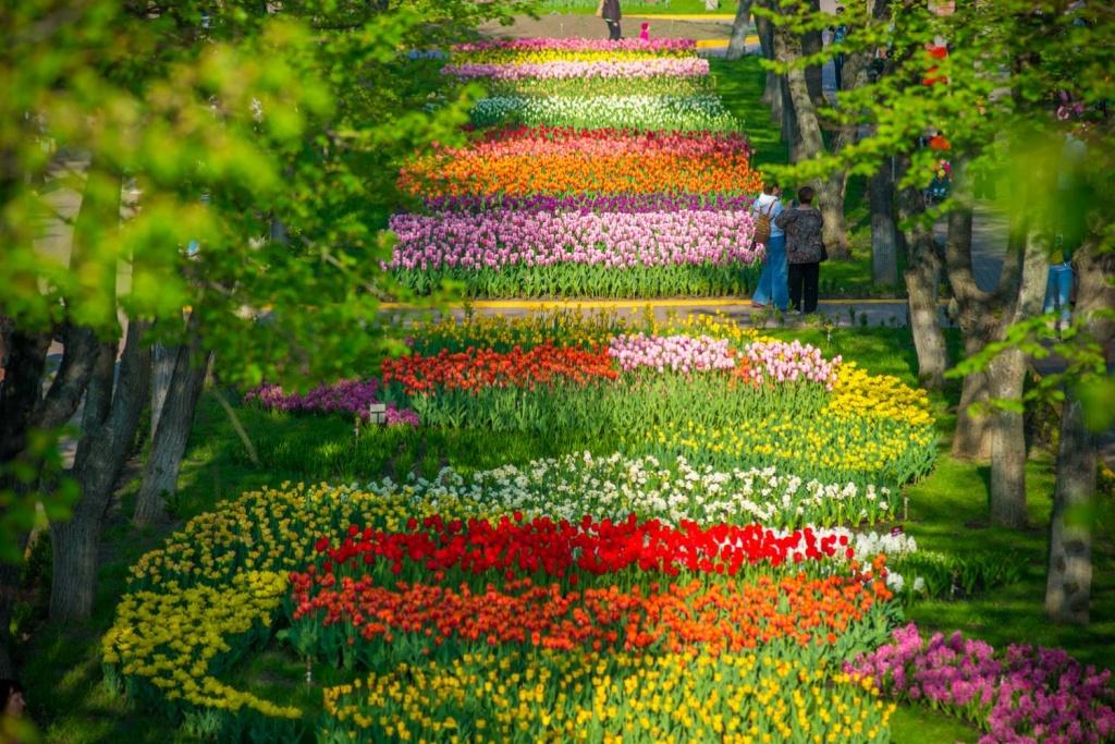 Цветение тюльпанов в Кропивницком.jpg