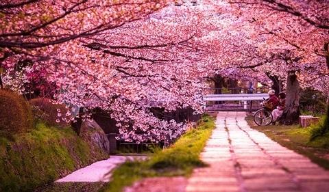 Цветение сакуры в Ужгороде.jpg